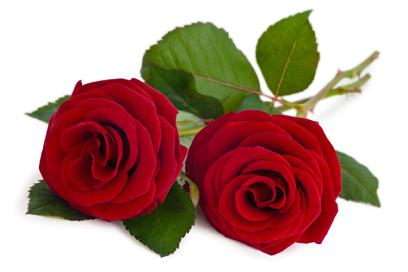 tavastia-ruusu_punainen netti